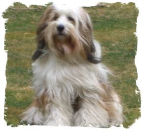 Dalai_puppy